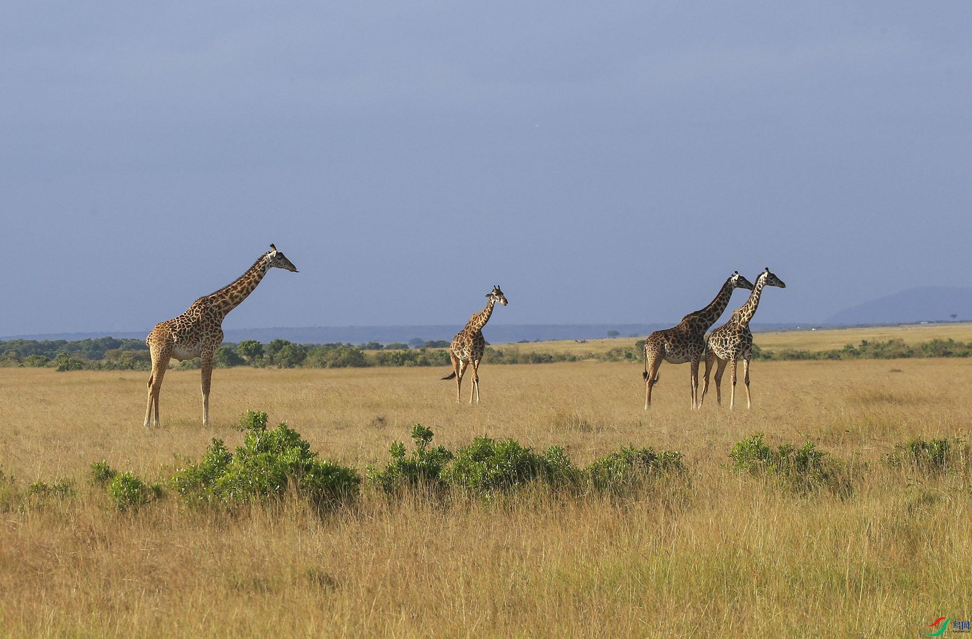 长颈鹿 。 (1).jpg