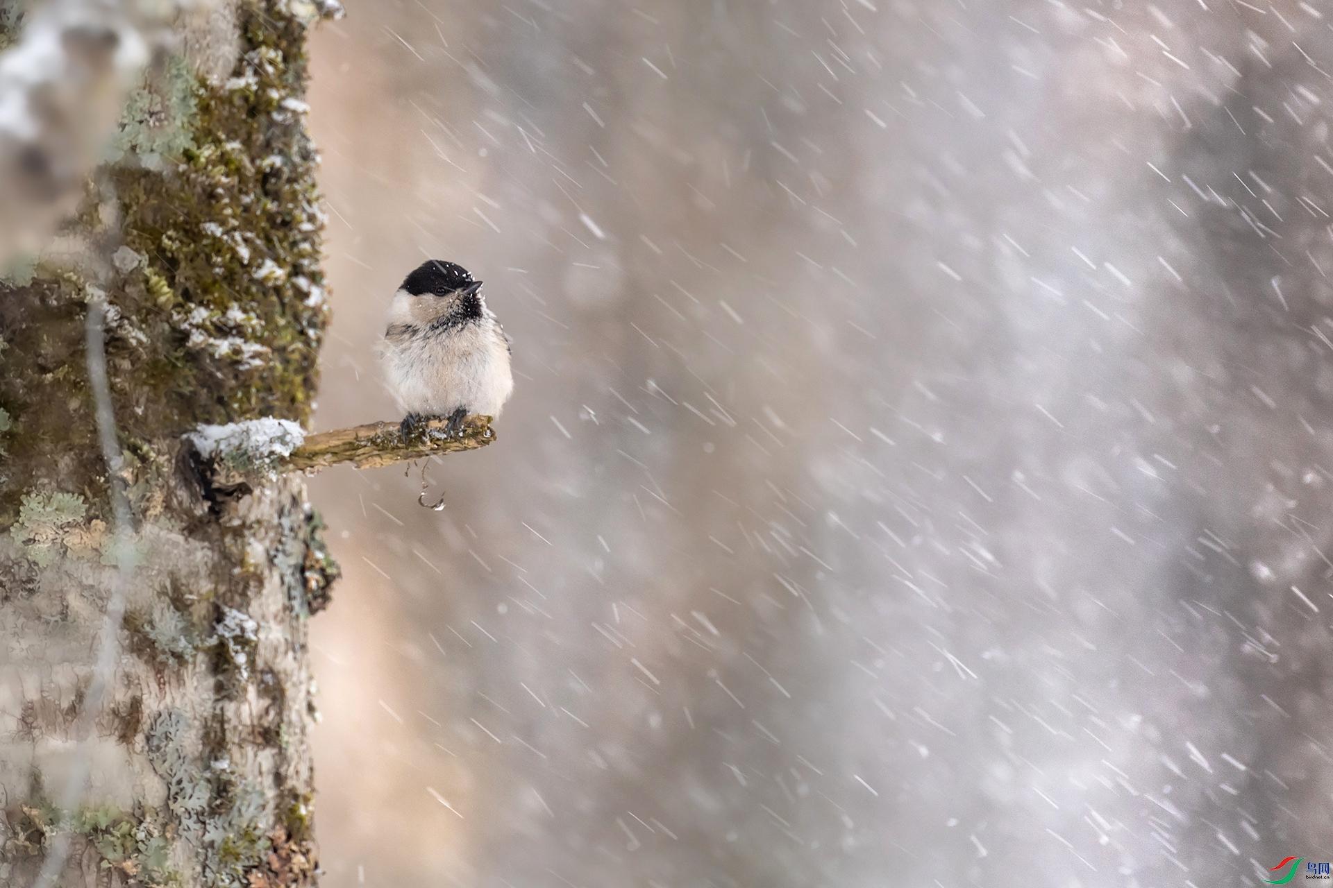 风雪中的小山雀