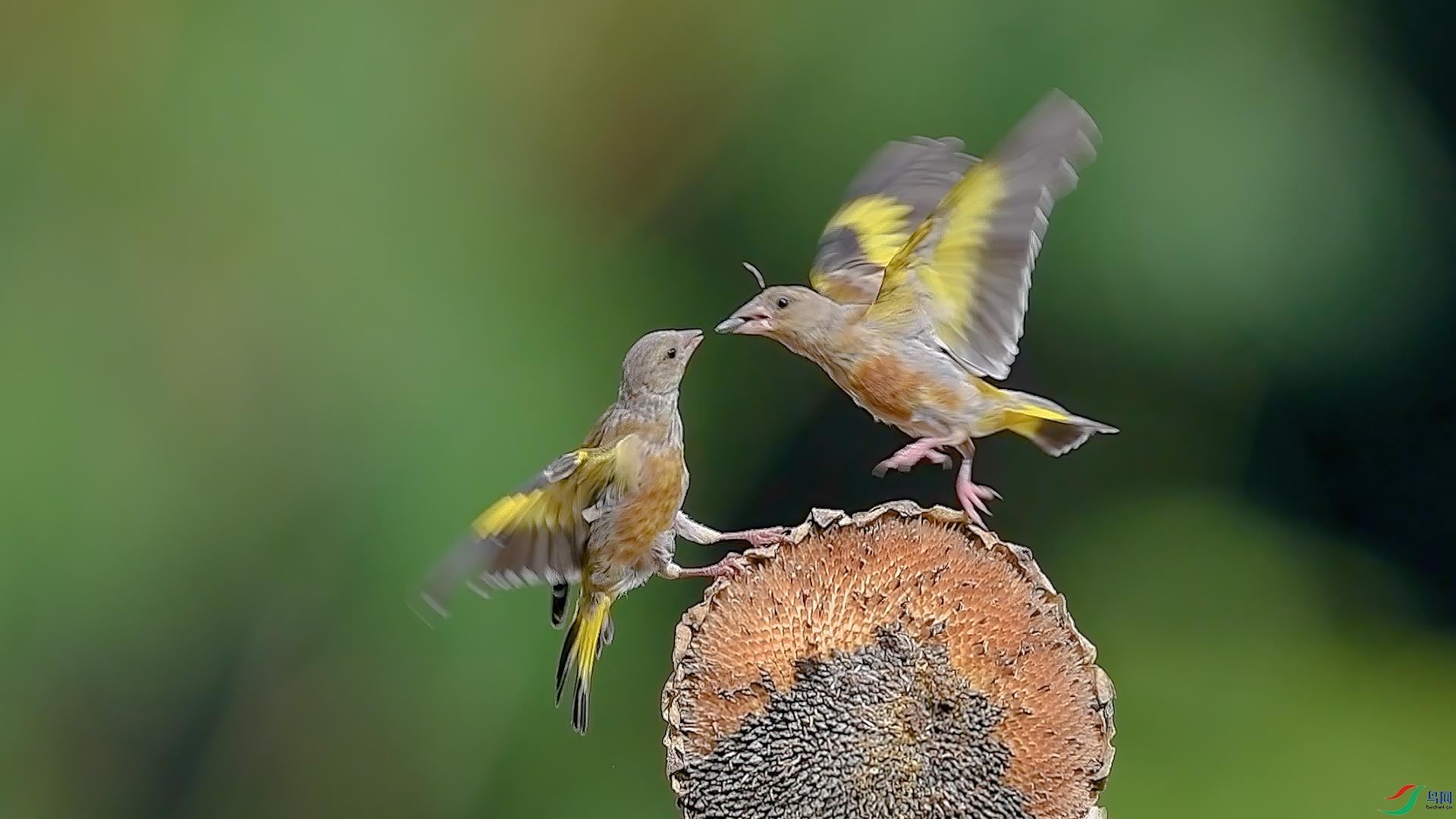 金翅雀2.jpg