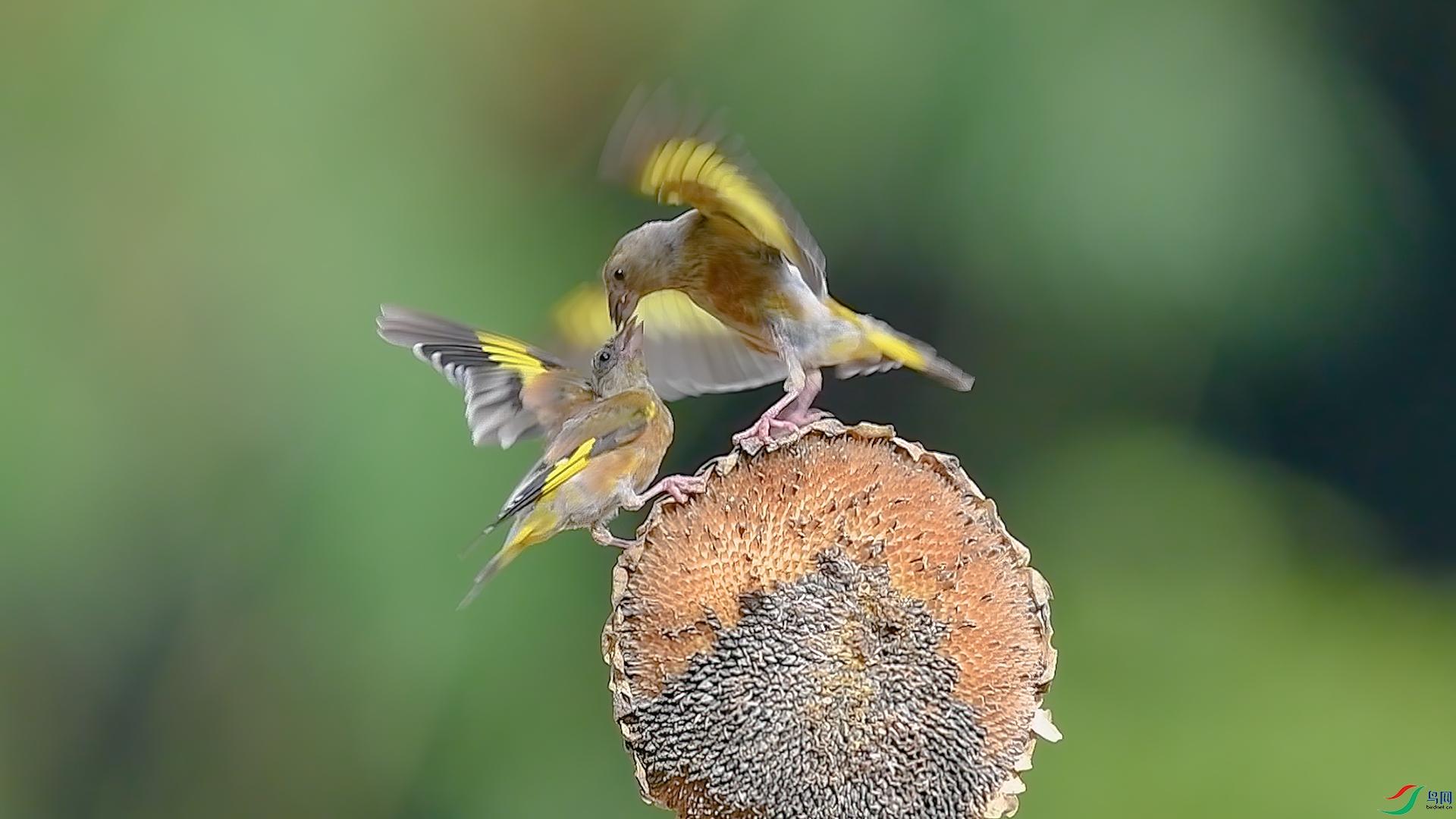 金翅雀1.jpg