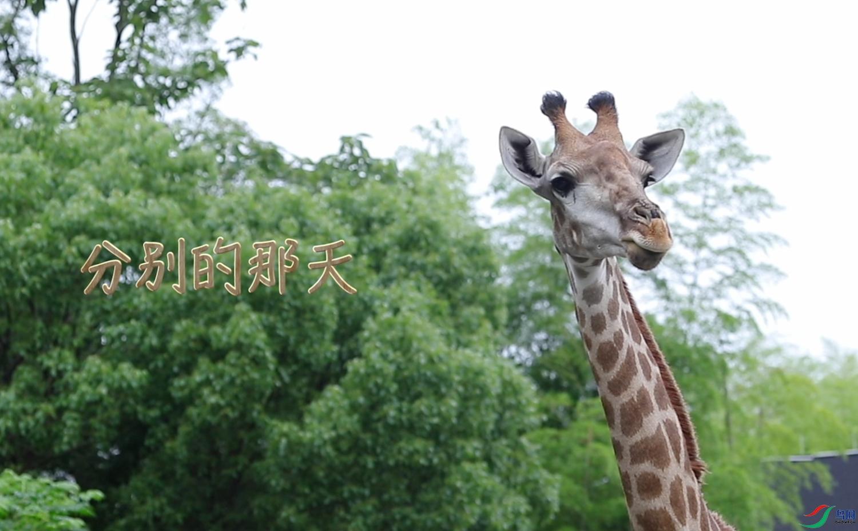 长颈鹿-9.jpg