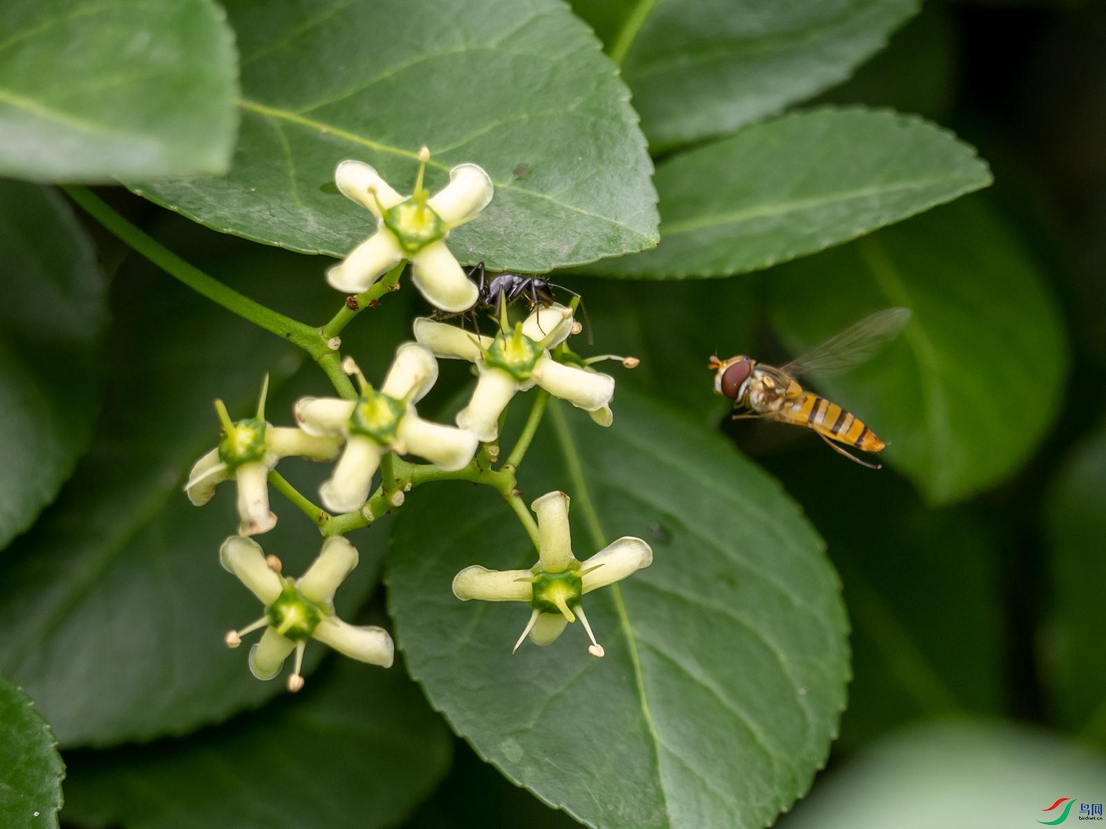 冬青卫矛引来了食蚜蝇和大蚂蚁