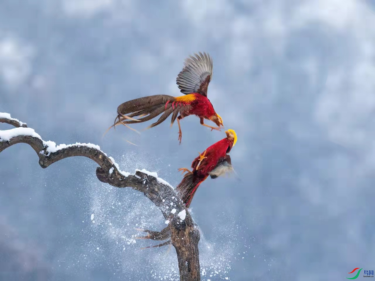 红腹锦鸡1.jpg