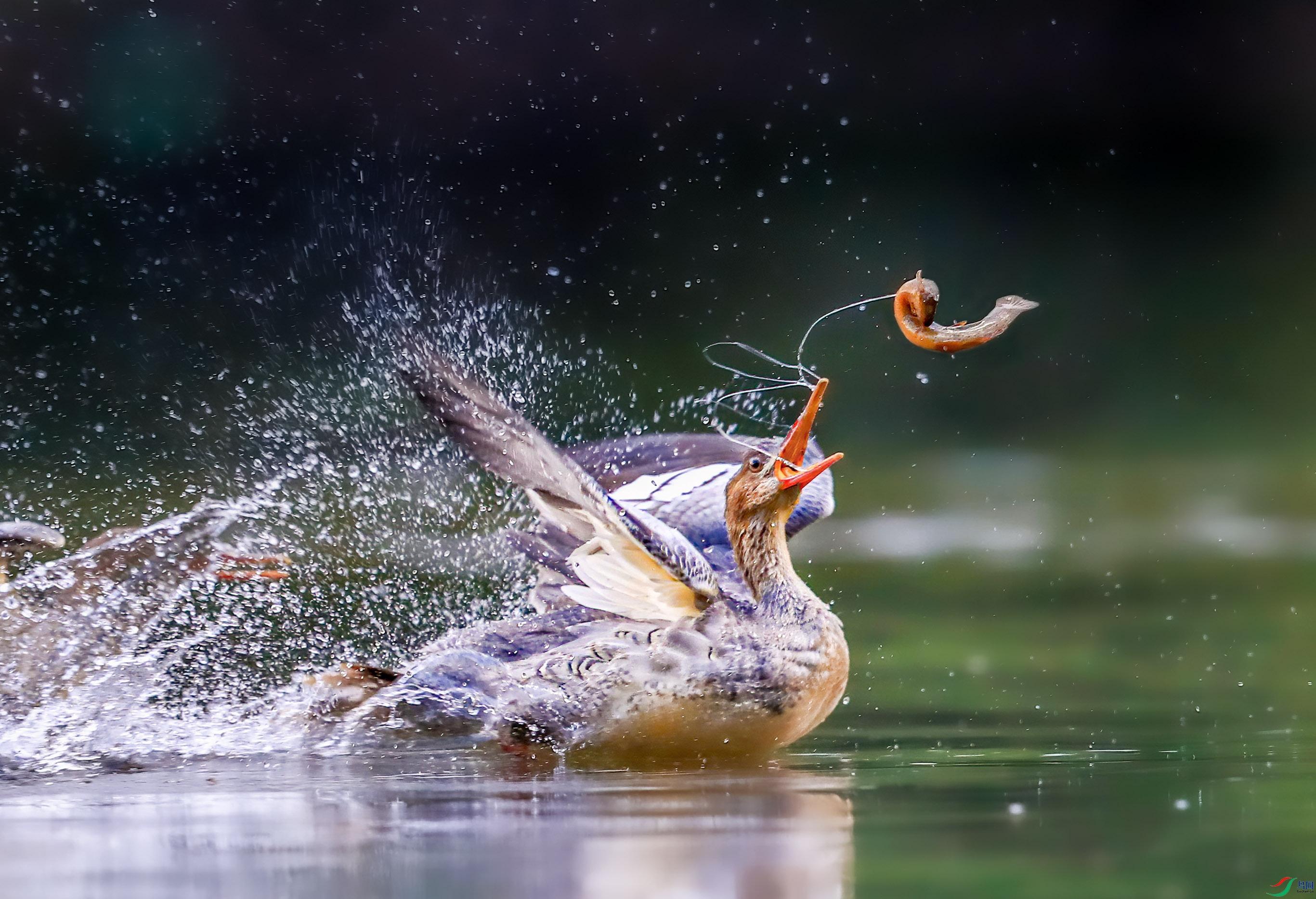 中华秋沙鸭