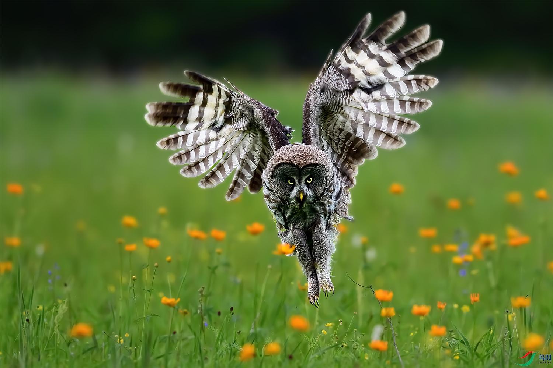 乌林鸮DSC_1133.jpg