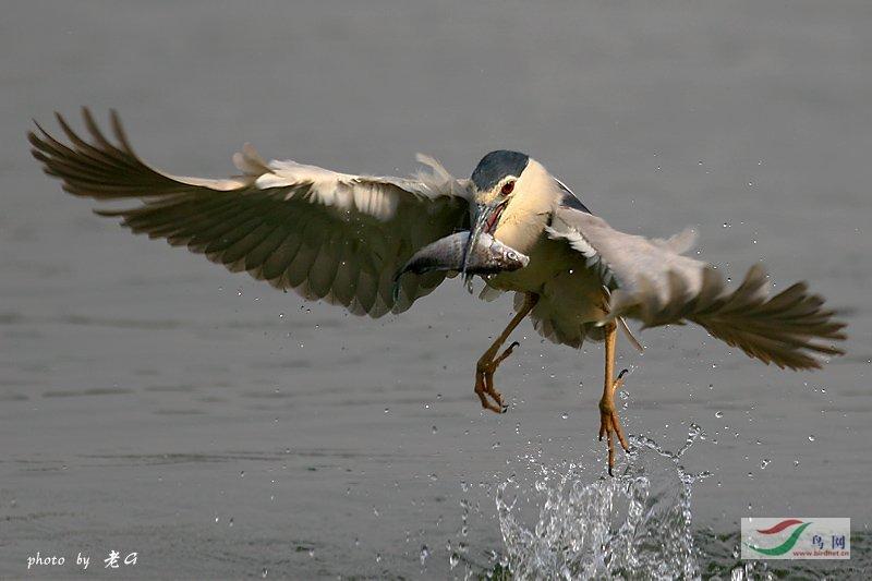 """Re:""""2007鸟网之夏""""野生鸟类摄影比赛评委作品展示"""