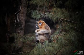 川金丝猴一组贺鸟网每日精华动物精华