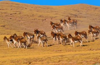 藏野驴(贺获首页动物精华)