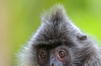 银叶猴的肖像