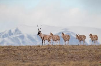 羚羊---祝各位老师2019新年快乐!(祝贺老师的佳作荣获动物精华)