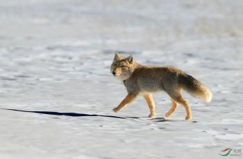 藏狐(贺获动物精华)