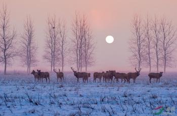 晨曦下的麋鹿(获首页动物精华)