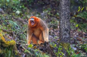 金丝猴(恭贺荣获首页动物精华)