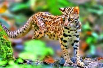 夜行动物咋白天出来活动了--豹猫【祝贺荣获首页动物精华】