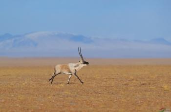 藏羚羊(祝贺荣获首页动物精华)