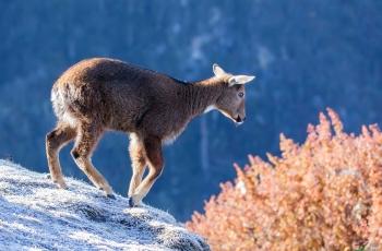 赤斑羚——少年英姿 祝賀榮獲動物精華