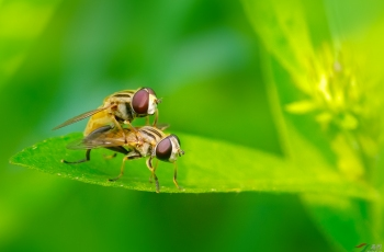 果蝇的幸福时光【贺获首页动物精华】