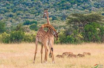 好奇的长颈鹿