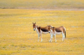 藏野驴(祝贺荣获首页动物精华)