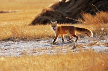 赤狐(恭喜获鸟网动物精华)