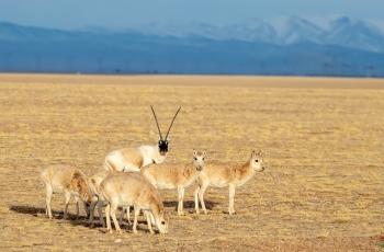 藏羚羊(祝贺荣获动物精华)
