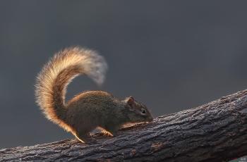 翘尾巴的松鼠