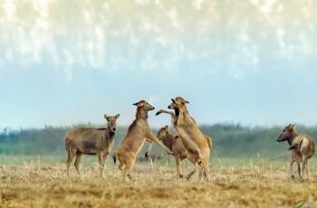 麋鹿(俗称:四不像)恭贺荣获首页精华