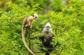 崇左的明星——白头叶猴(祝贺佳作获动物精华!)