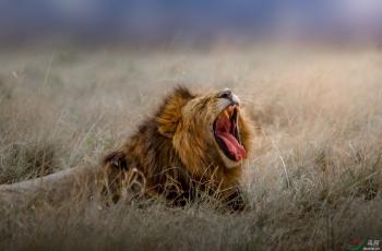 狮吼(马赛马拉王者)<荣获首页精华>