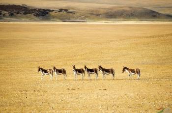 阿里藏野驴(祝贺荣获首页精华)