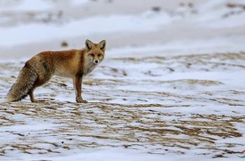 ~~赤狐~~~~问好~~(贺获动物精华)