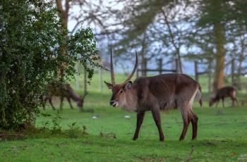 水羚羊(祝贺荣获首页动物精华)