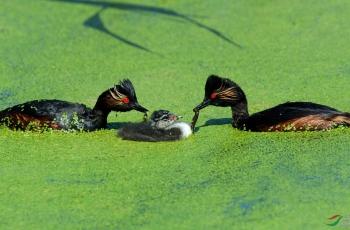 黑颈鸊鷉《宠儿》给全国的鸟友拜年!