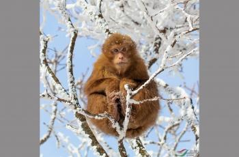 雪中黄山短尾猴--祝贺首页精华!