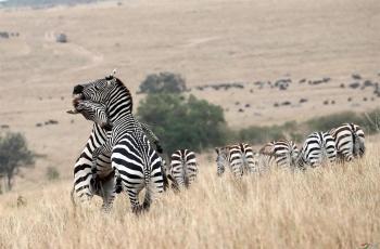 肯尼亚马赛马拉草原     斑马争霸战(祝贺荣获首页动物精华)