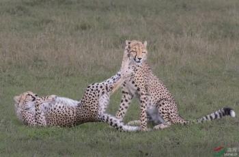 猎豹兄弟嬉戏中的二踢脚(祝贺荣获首页动物精华及本版佳作)