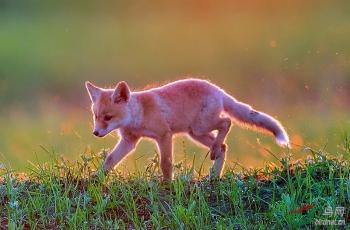 朝阳下奔跑的小赤狐(恭贺荣获首页动物类精华)