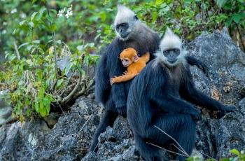 白头叶猴——幸福的宝宝 祝賀榮獲動物精華