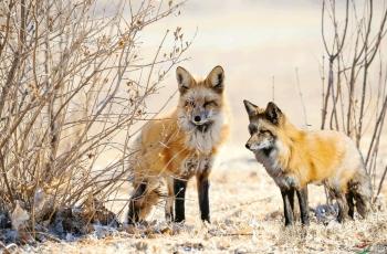 北方的狐狸(祝贺荣获首页精华)