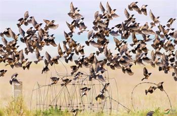 粉红椋鸟在新疆  (一)萨孜草原椋鸟雨