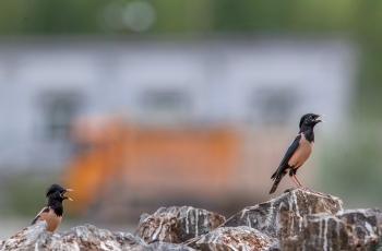 粉红椋鸟在新疆 (二~四)粉红椋鸟筑巢