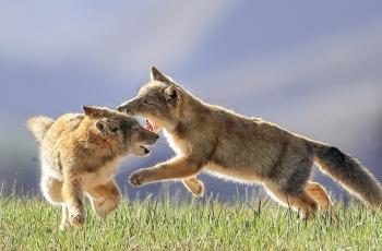 玩耍的狐狸