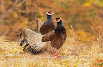秋韵中的褐马鸡
