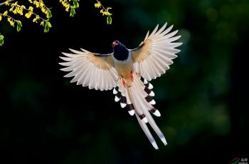 红嘴蓝鹊(祝贺老师佳作荣获首页鸟类精华)