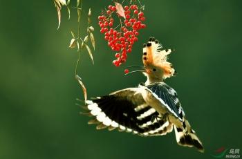 [林鸟] 【难得一见】-戴胜空中开冠觅食(祝贺荣获首页鸟类精华)