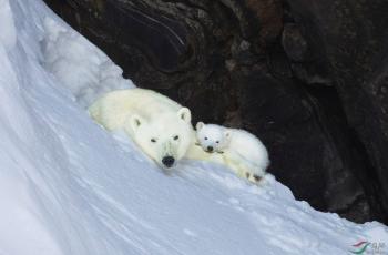 温暖的相依——北极熊母子