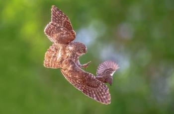 《捕捉》------纵纹腹小鸮(祝贺荣获每日一图)