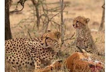 2019国庆肯尼亚拍狮子