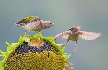 金翅雀与麻雀
