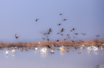 鸿雁与白鹤